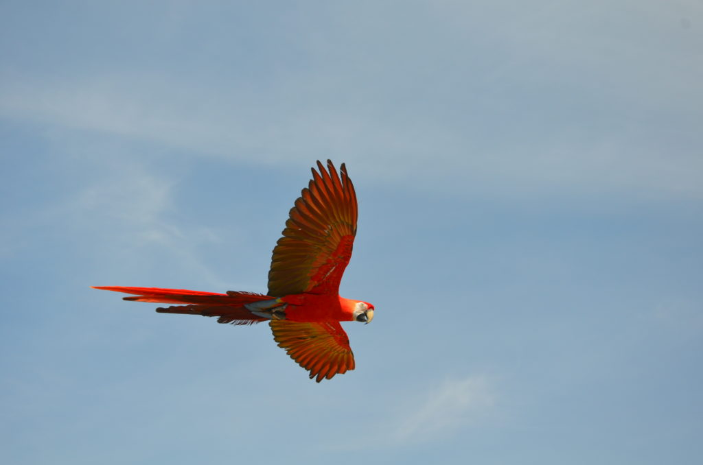 A beautiful red ara flying free in the air during the raptor show.