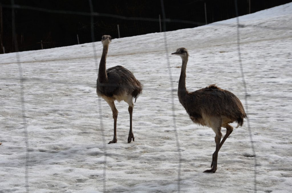 Two nanda's on a snow covered field behind a fence. These animals you can walk past on winter walks in Götzens.