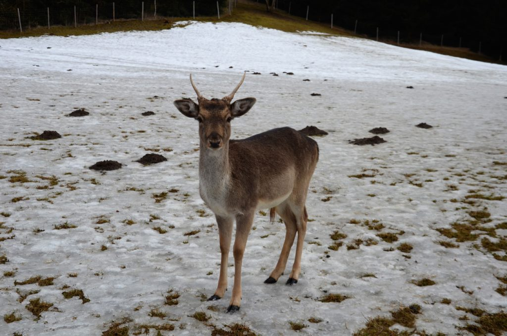 A deer in the middle of a picture on a snow covered field, with some grass visible through the snow. Trees in the back of the picture