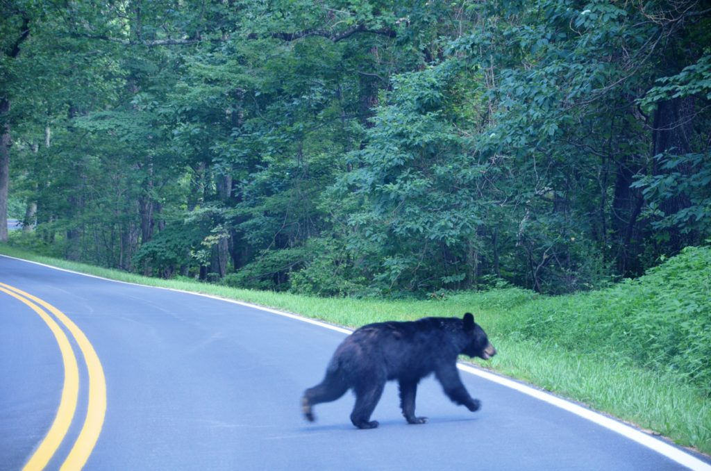 Bear crossing the road in front of our car