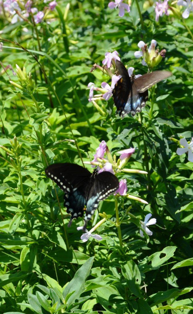 Butterflies at Shenandoah National Park
