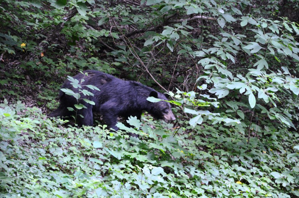A black bear in the bushes in Shenandoah National Park, the bear is visible almost completely.