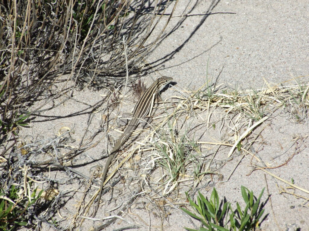 A lizard between the grass, a grey one on the sand.
