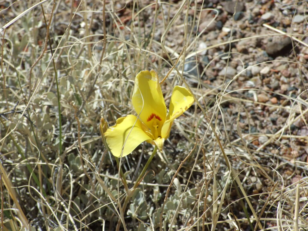 A yellow wildflower, in between grasses.