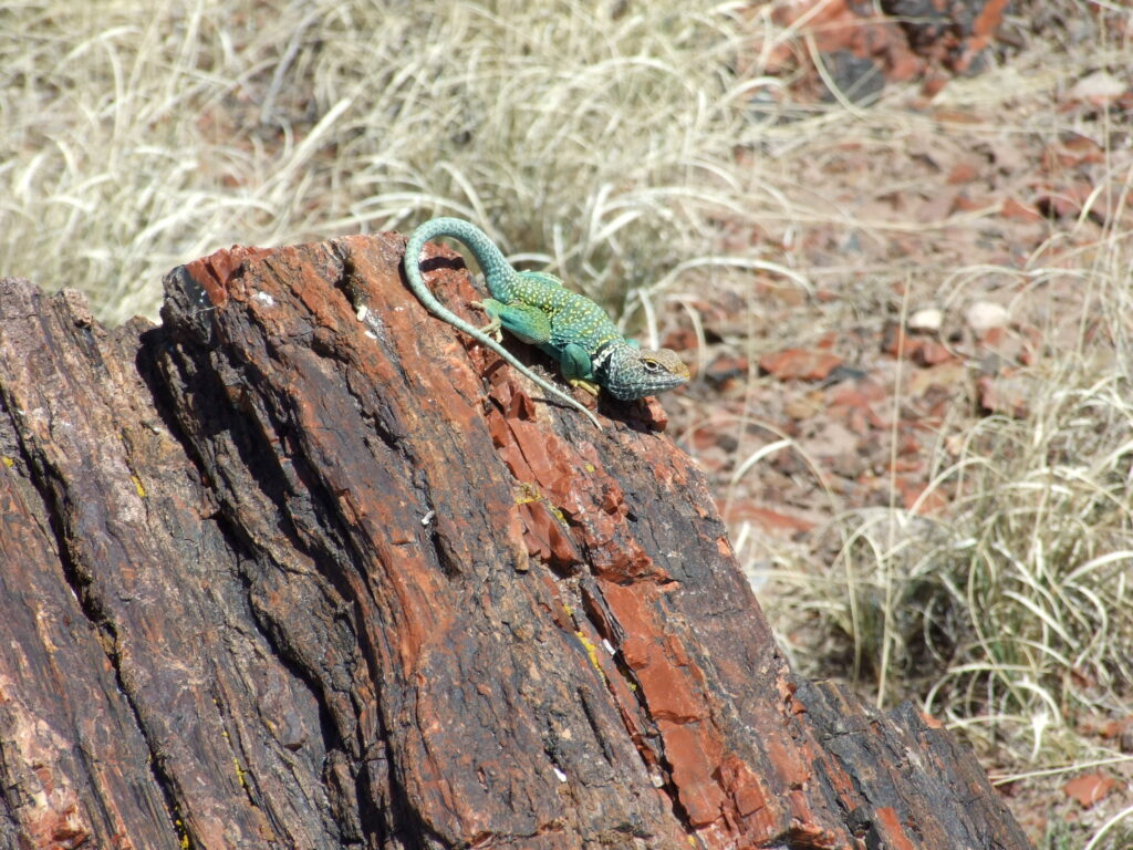 A colorful lizard on a petrified log, with grasses behind it.
