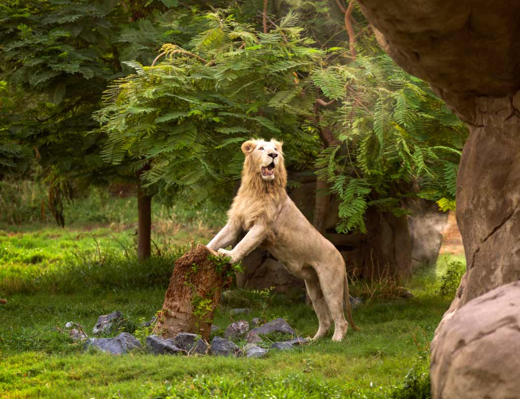 Safari Park, a lion standing erect on a tree stomp