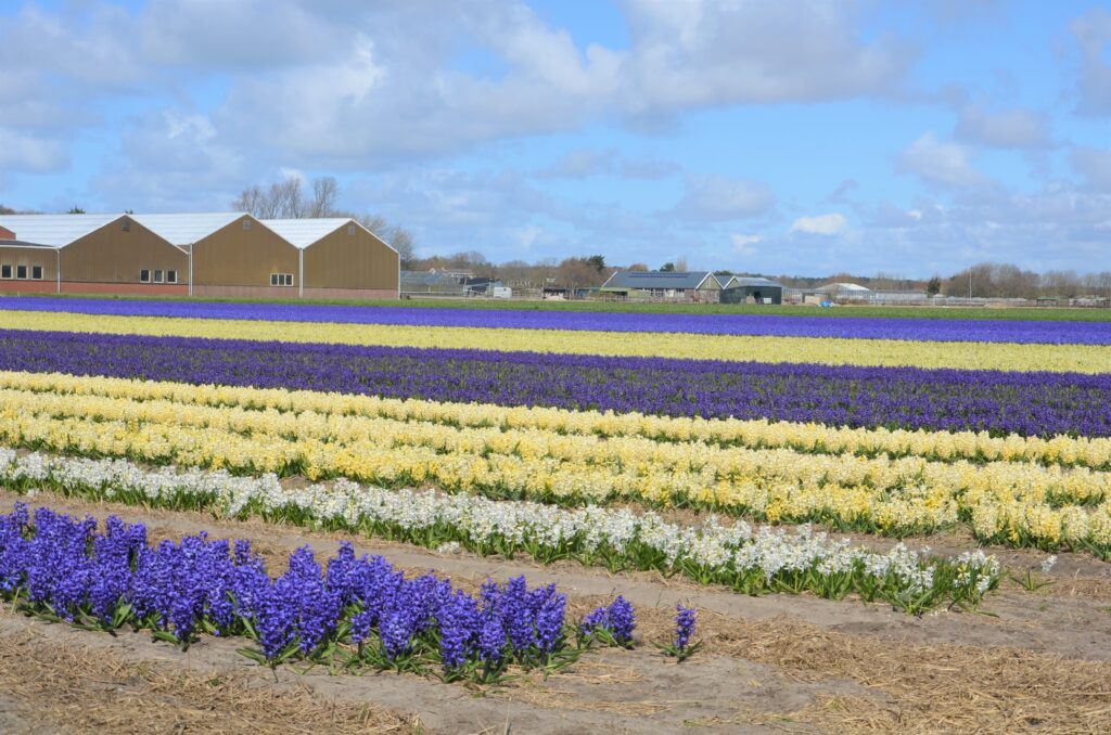 Hyacinth field: blue, white, yellow and purple