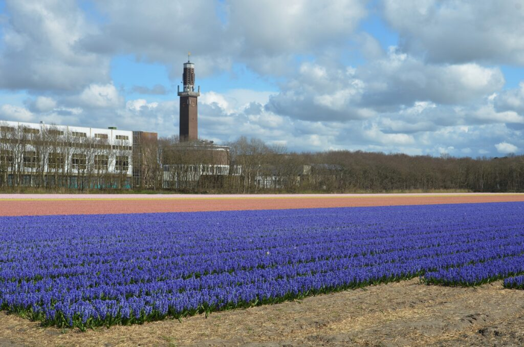 Hyacinth field in different colors