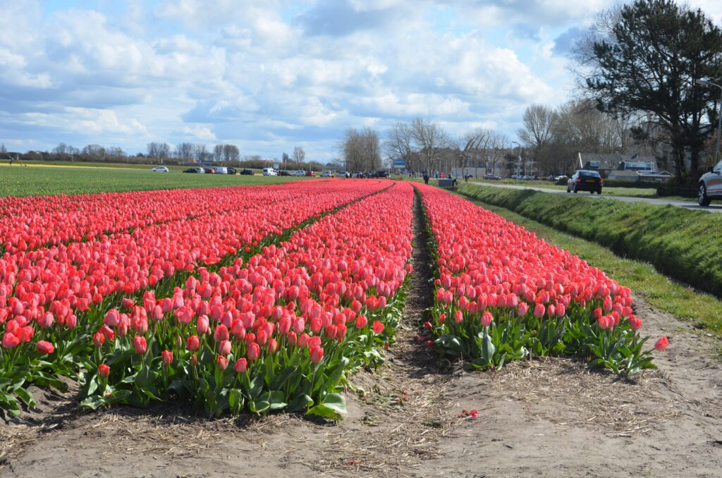 Tulip field in red