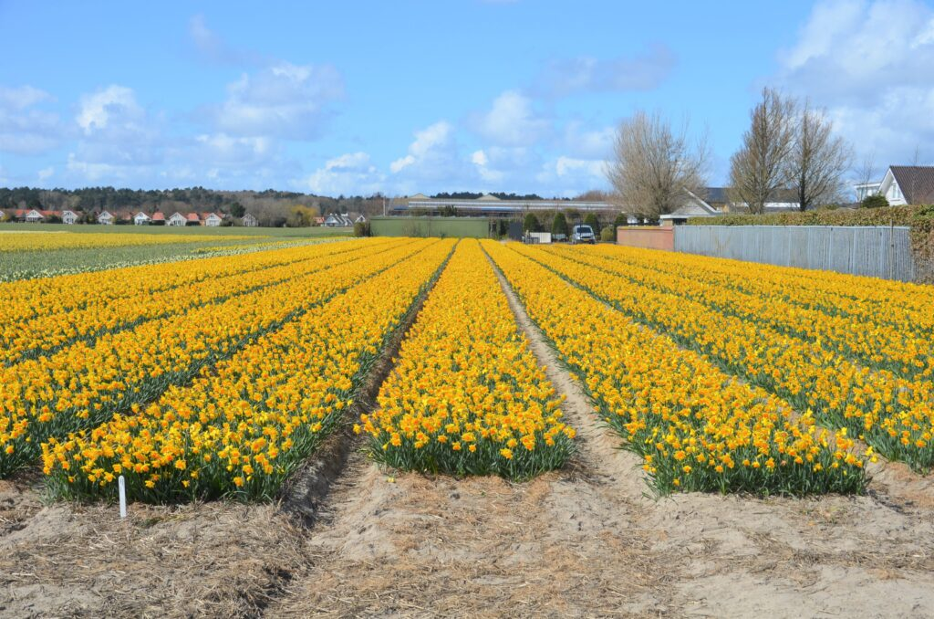 Daffodil field in yellow