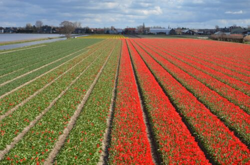 Rows of tulip field in red