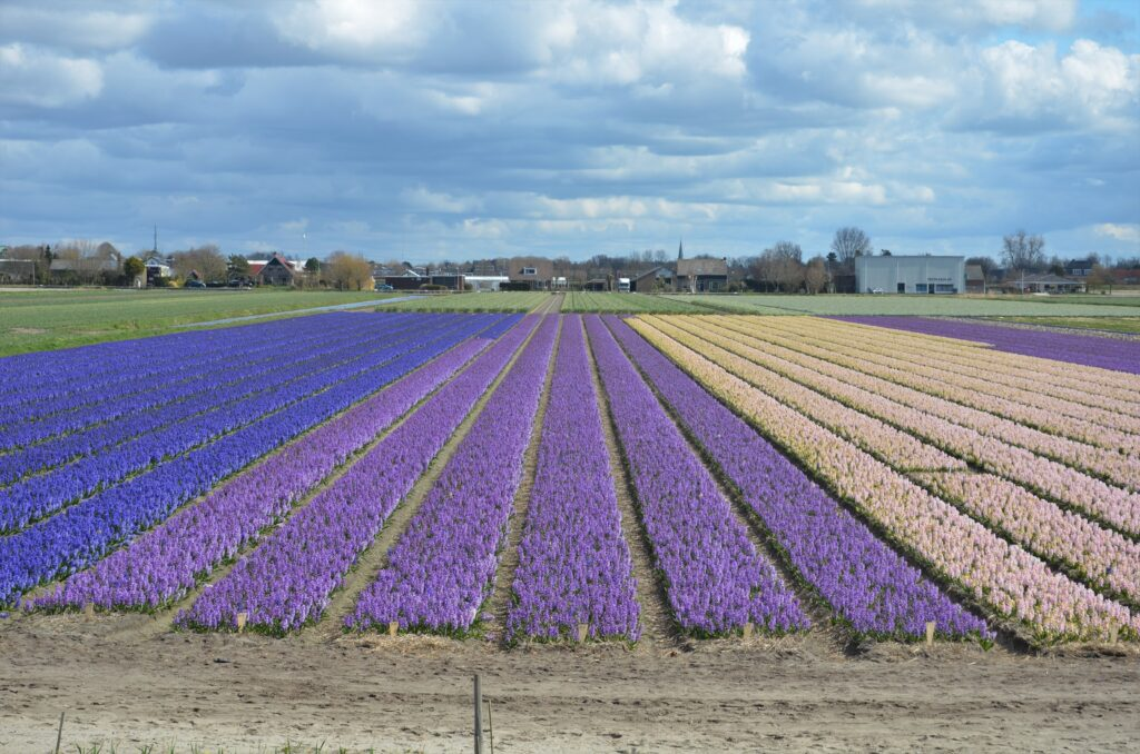 Hyacinth field in white, purple and blue