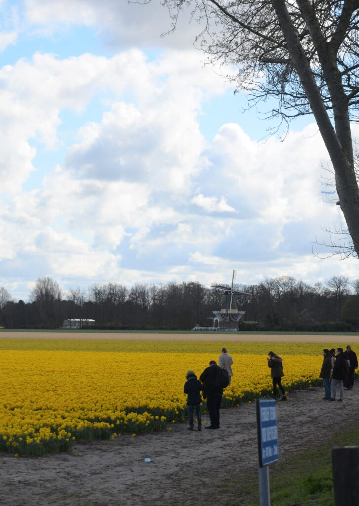 Daffodil field near Keukenhof in yellow