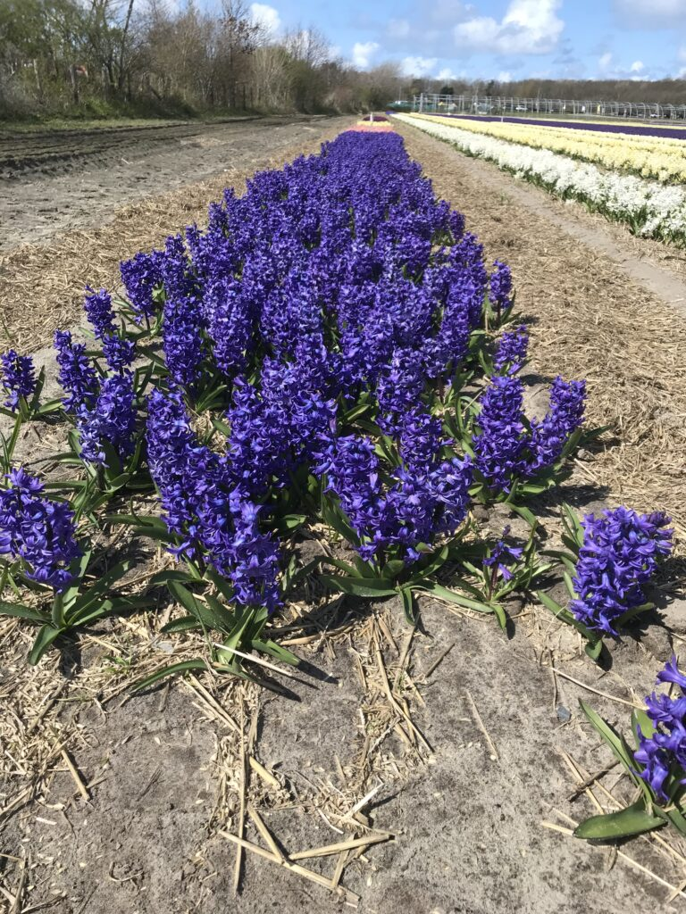 Hyacinth field in blue