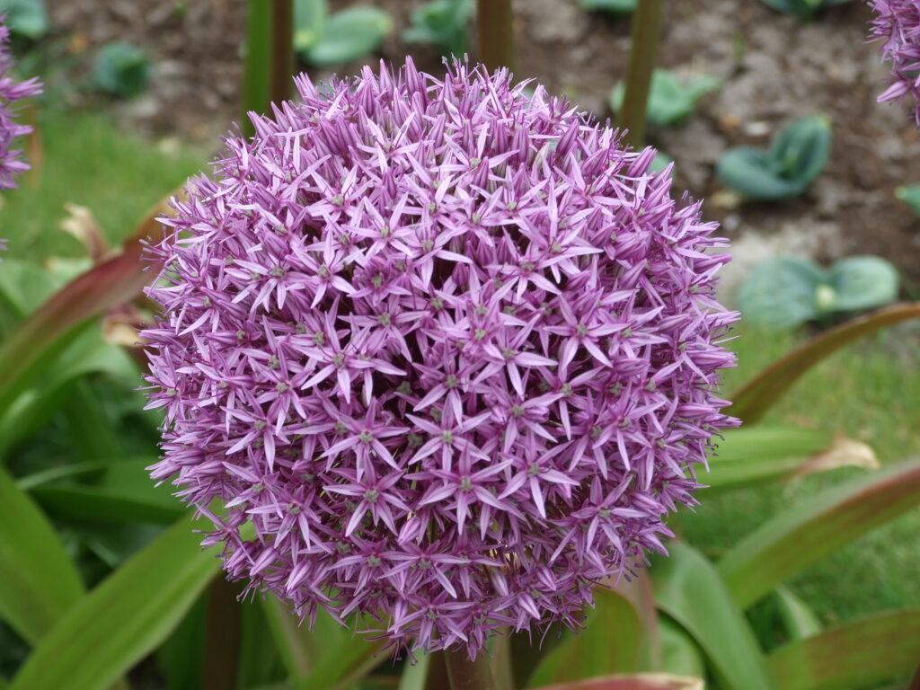 A beautiful purple daisy (echinops)