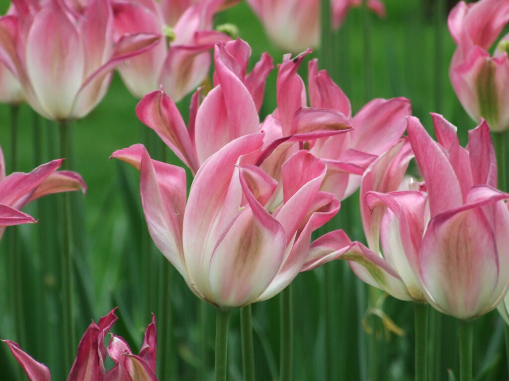 A pink and white tulip