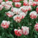 Tulips, several, red and white colored