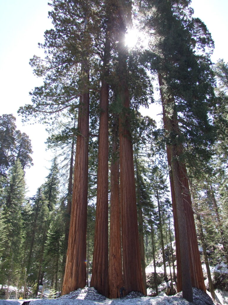 Several sequoia trees, seen from below, the sun shining through them