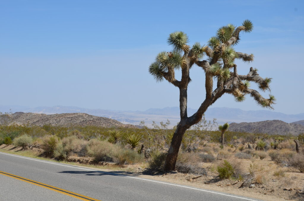 A Joshua Tree at Joshua Tree National Park, standing next to the road. Desert behind it
